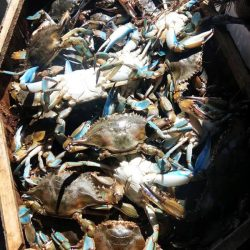 Live Blue Crab Jimmies